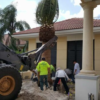 Canary Island Date Palm Installation At Ibis#2